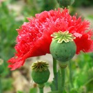 M43 Mohn 'Scarlet Feathers'
