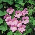 R18 Kletter-Löwenmäulchen 'Rosa'