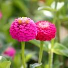 Z33 Zinnie 'Lilliput Rose'