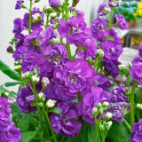 Levkoje 'Cinderella Purple'
