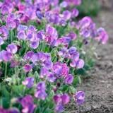 Zwergwicke 'Cupid Purple'