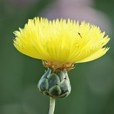 ES191 Moschus-Flockenblume