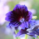 ES228 Trompetenzunge Kew Blue