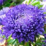 ES241 Sommeraster 'Kingsize Blue'