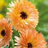 ES247 Ringelblume 'Orange Flash'