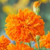 ES258 Tagetes 'Kee´s Orange'