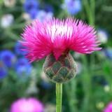 ES273 Große Duftflockenblume 'Purple Beauty'