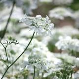 ES98 Strahlendolde 'White Lace'