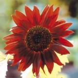 ES131 Sonnenblume 'Claret F1'