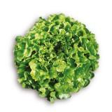 G101 Eichblattsalat 'Salad Bowl' BIO