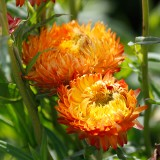 Strohblume 'Orange Fire'