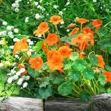 K43 Kapuzinerkresse 'Baby Orange'