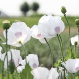 Mohn 'White Delight'