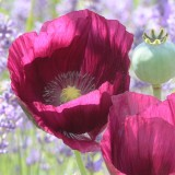 M40 Mohn 'Laurents Grape'