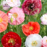 M41 Mohn Poppy Grace