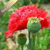 M43 Mohn  Scarlet Feathers