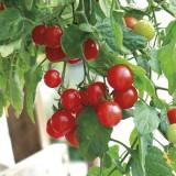 T36 Tomate Gartenperle