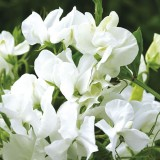 W18 Wicke 'Royal White'
