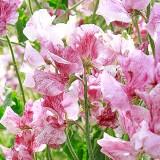 W31 Wicke 'Pink Ripple'