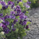 W60 Zwergwicke Bounce Dark Violet