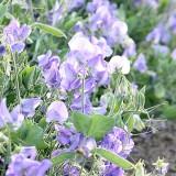 W69 Zwergwicke 'Cupid Lavender'