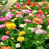Z36 Zinnien Mexican Mix