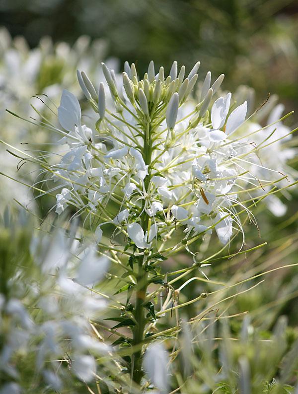 spinnenpflanze 39 white queen 39. Black Bedroom Furniture Sets. Home Design Ideas